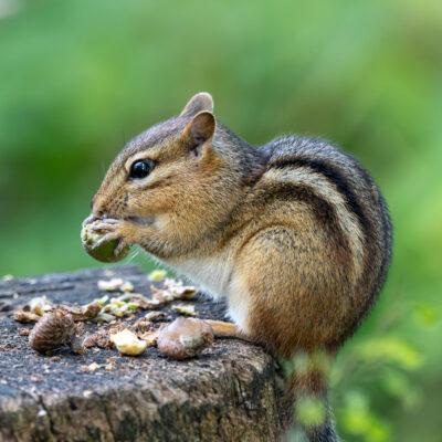 Chipmunk eating acorns