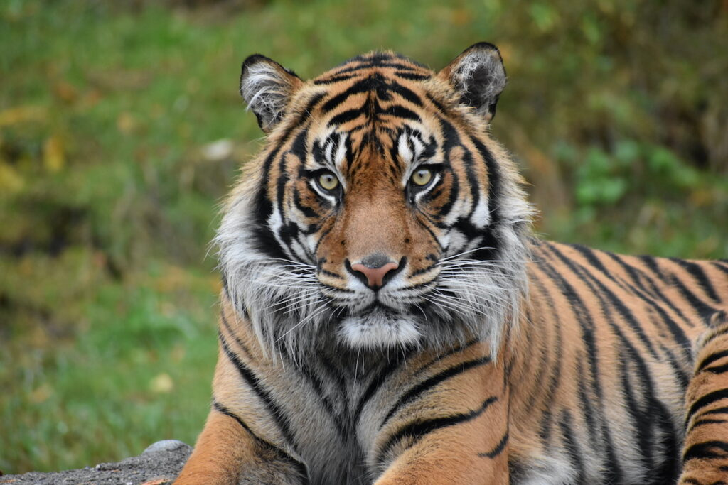 Close up of a tiger at the Point Defiance Zoo.