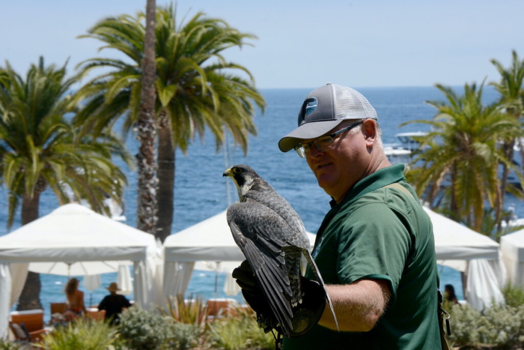 Falconer Dave Long with P.K. the Peregrine falcon.
