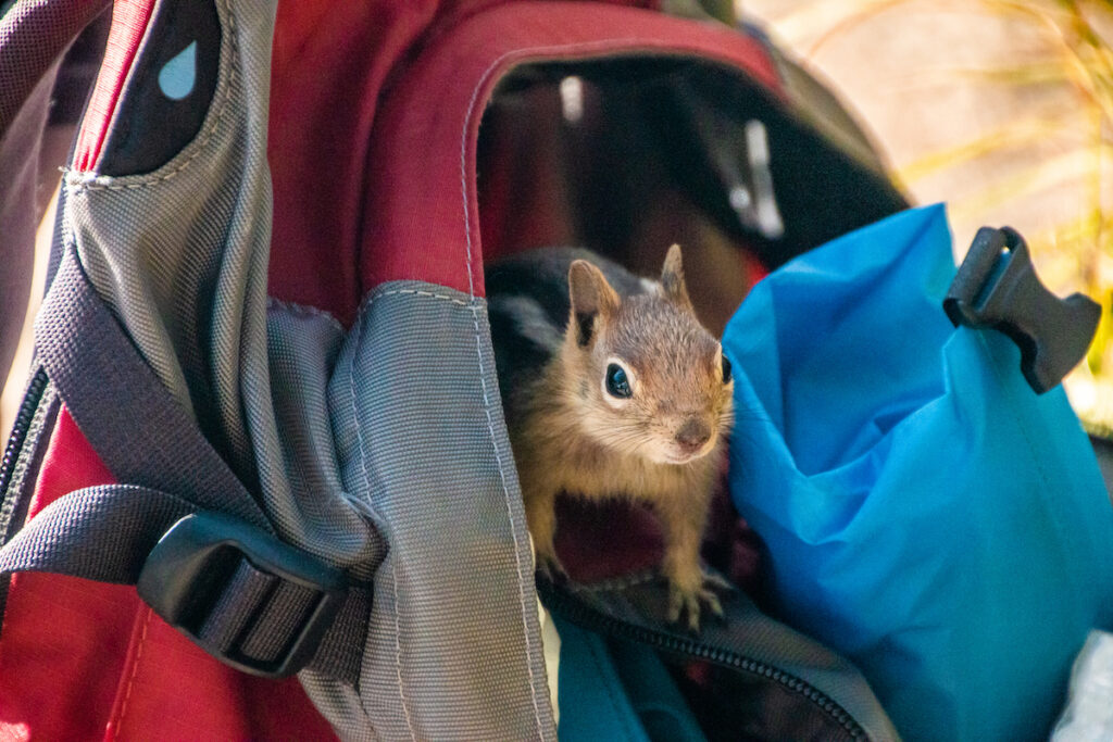Cute squirrel pokes his head out of backpackers back pack.