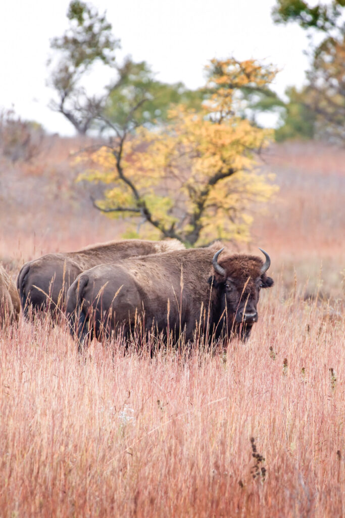 Two bison stand together in the tall grass at Maxwell Wildlife Refuge.
