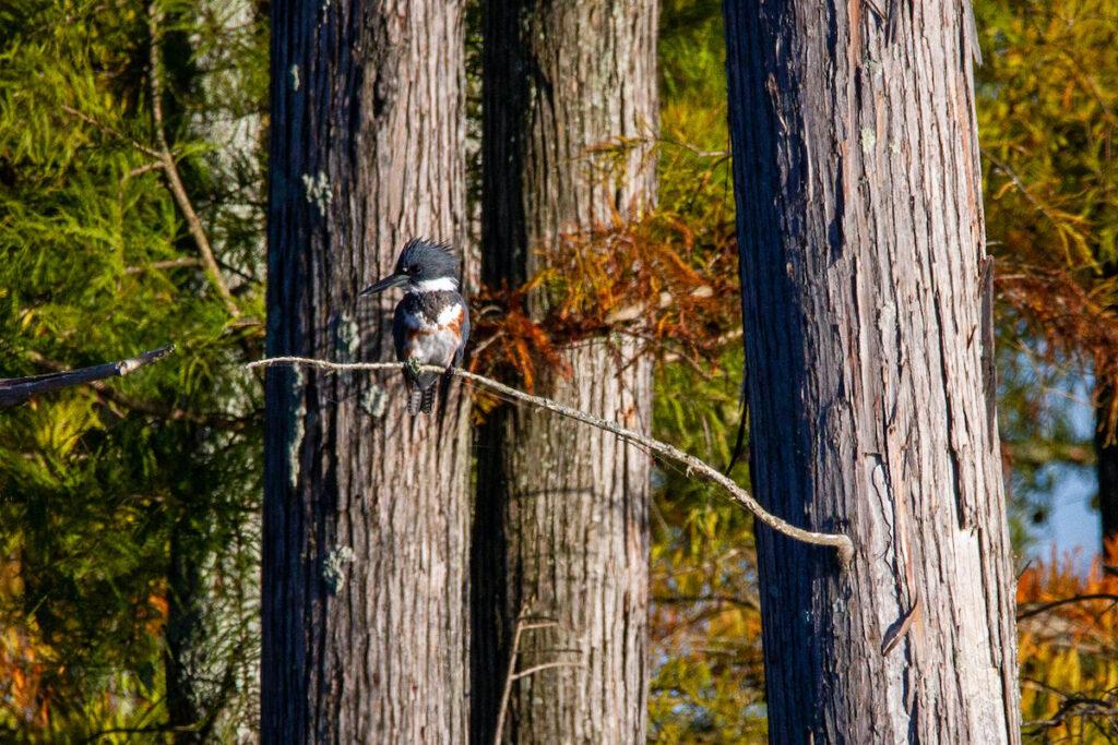 Bird in Hatchie National Wildlife Refuge, Tennessee