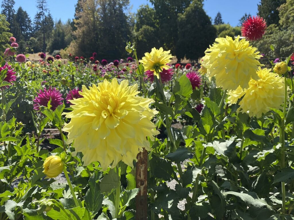 Dahlia Garden at Point Defiance