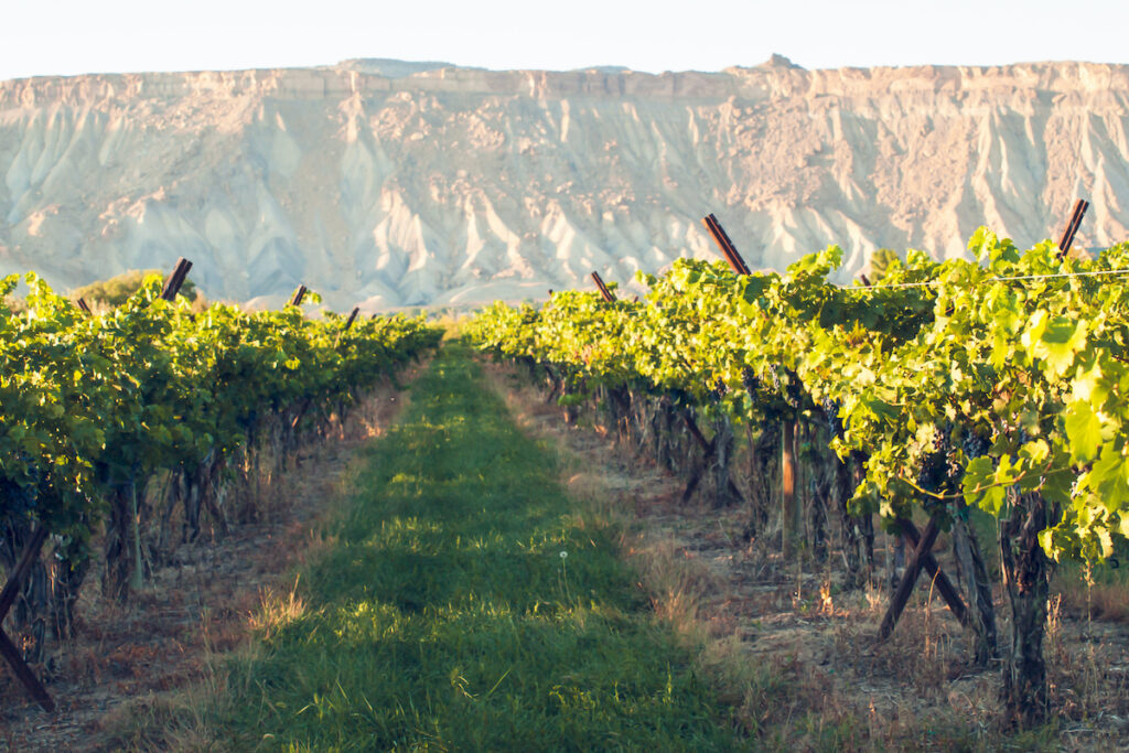 Vineyard in Palisade, Colorado