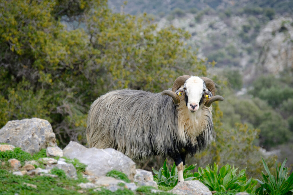 Ram with grey shaggy coat stands on rocky grown.