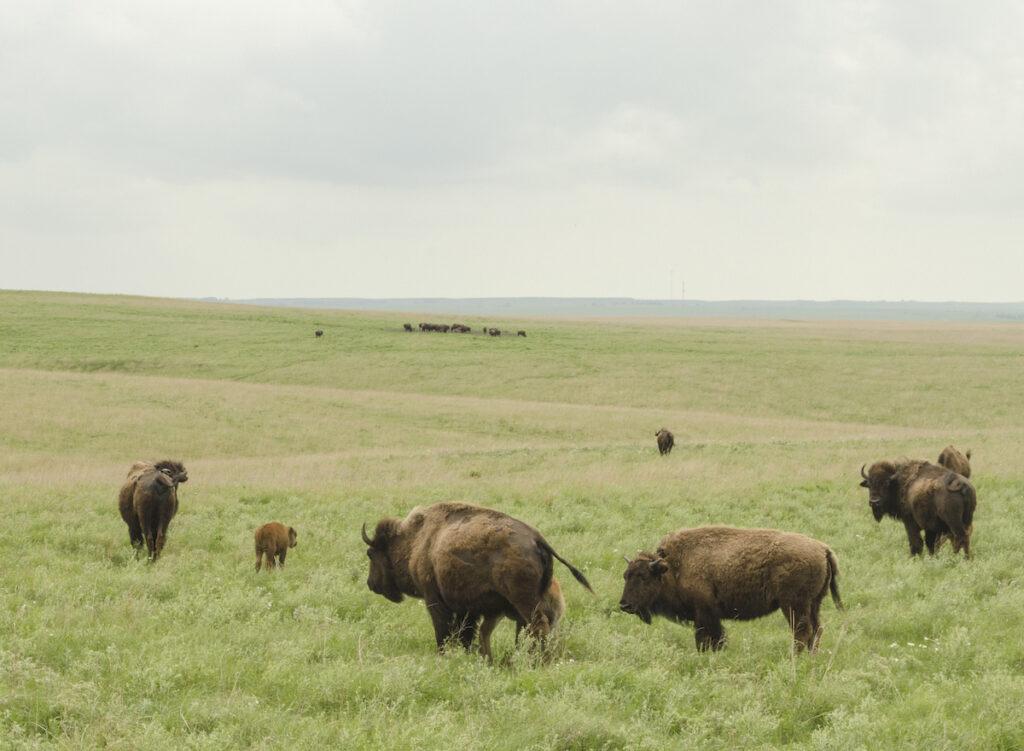 Wide open field with Bison at Tallgrass Prairie National Preserve.