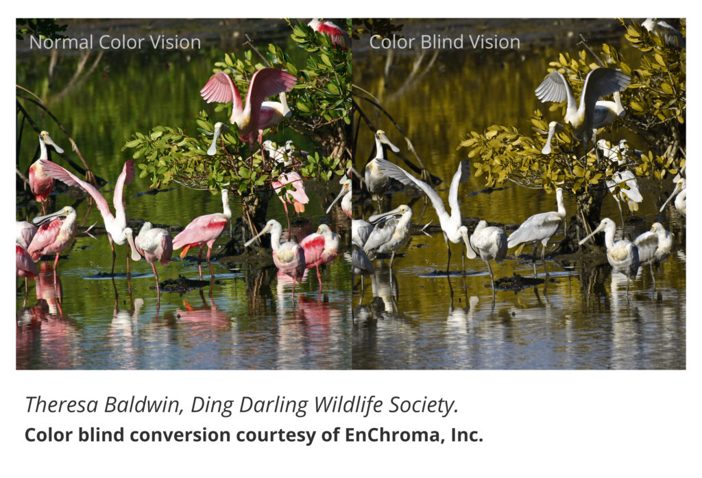 Roseate spoonbill to normal color vision and colorblind vision, via EnChroma.