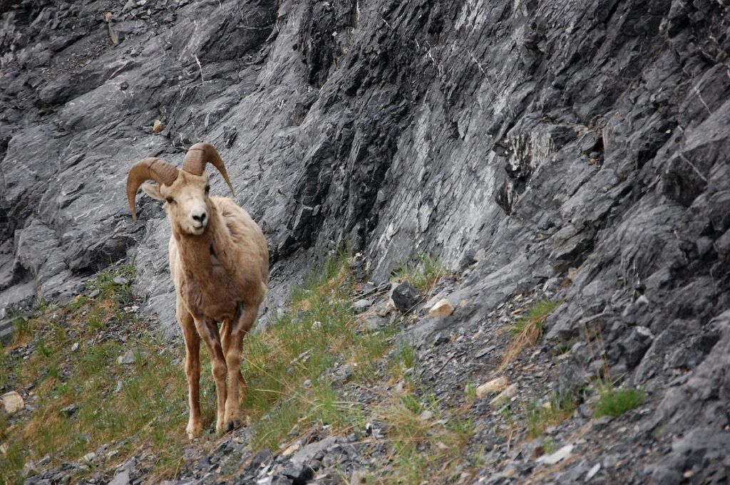 Bighorn sheep across the road from Abraham Lake.
