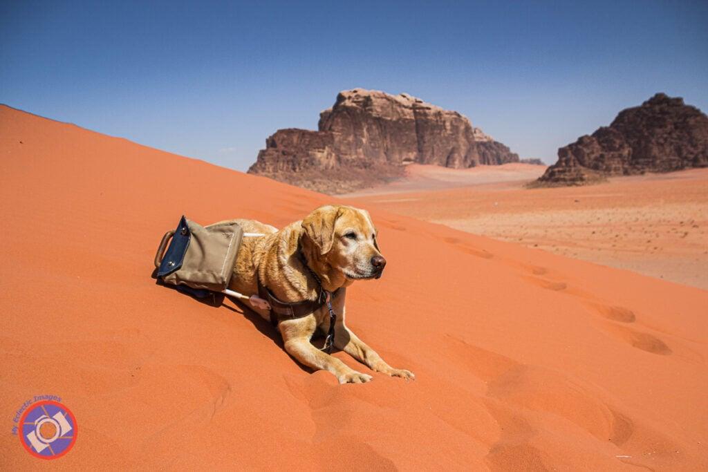 أوتو الكلب الإرشادي يستلقي على الكثبان الرملية في وادي رم.