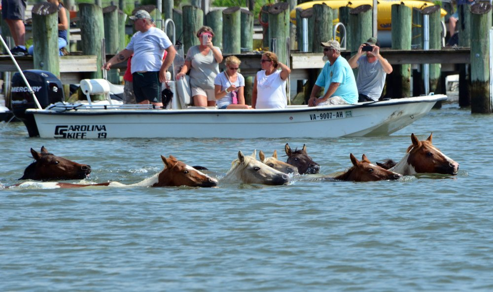 Chincoteague ponies swimming back to their home on Assateague Island, Chincoteague Island, Virginia
