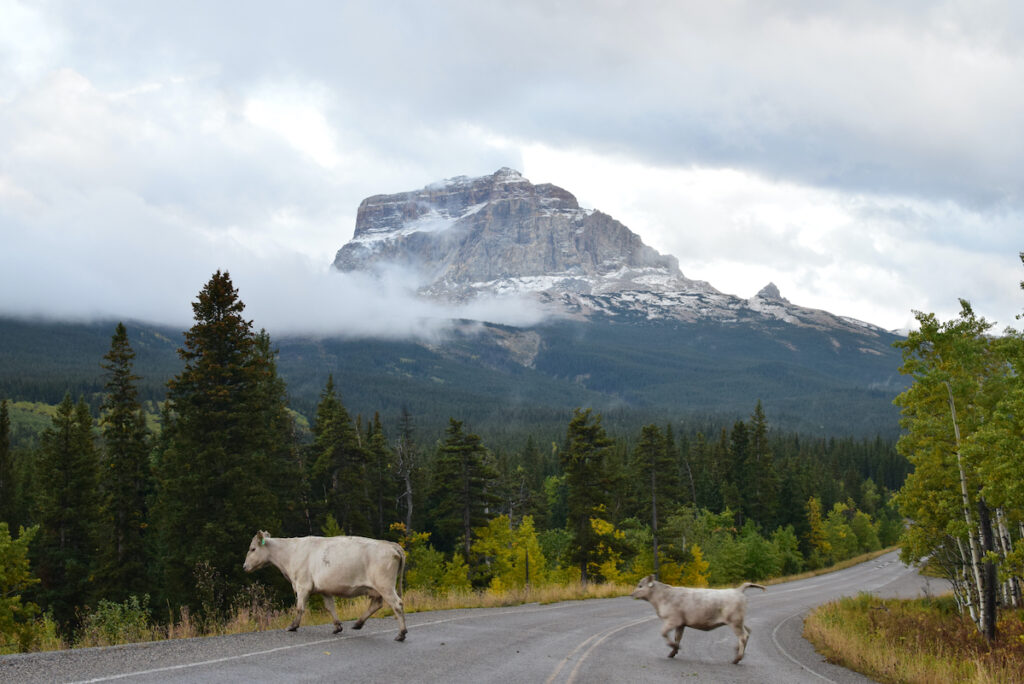 Mother cow and cute calf cross the road Chief Mountain HWY on the northeastern mountains and forest of Glacier National Park, Montana, USA