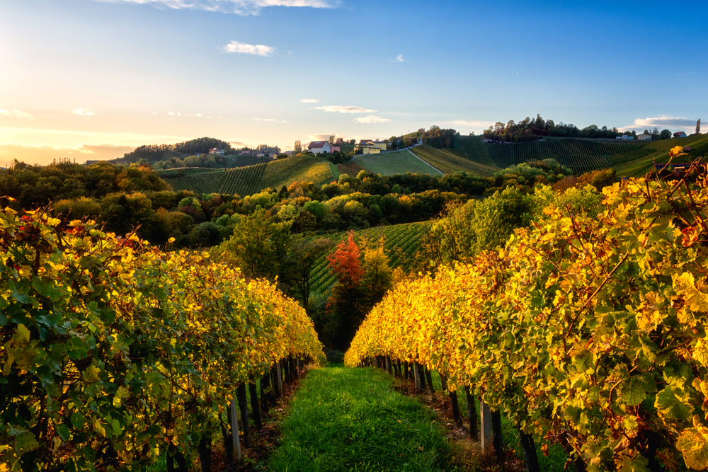 Beautiful vineyard hills in sunset light, Maribor wine region, Slovenia, Styria. Scenic autumn landscape, agricultural background and popular tourist attraction