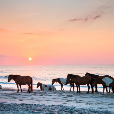 wild horses on the Assateague Island National Seashore at dawn