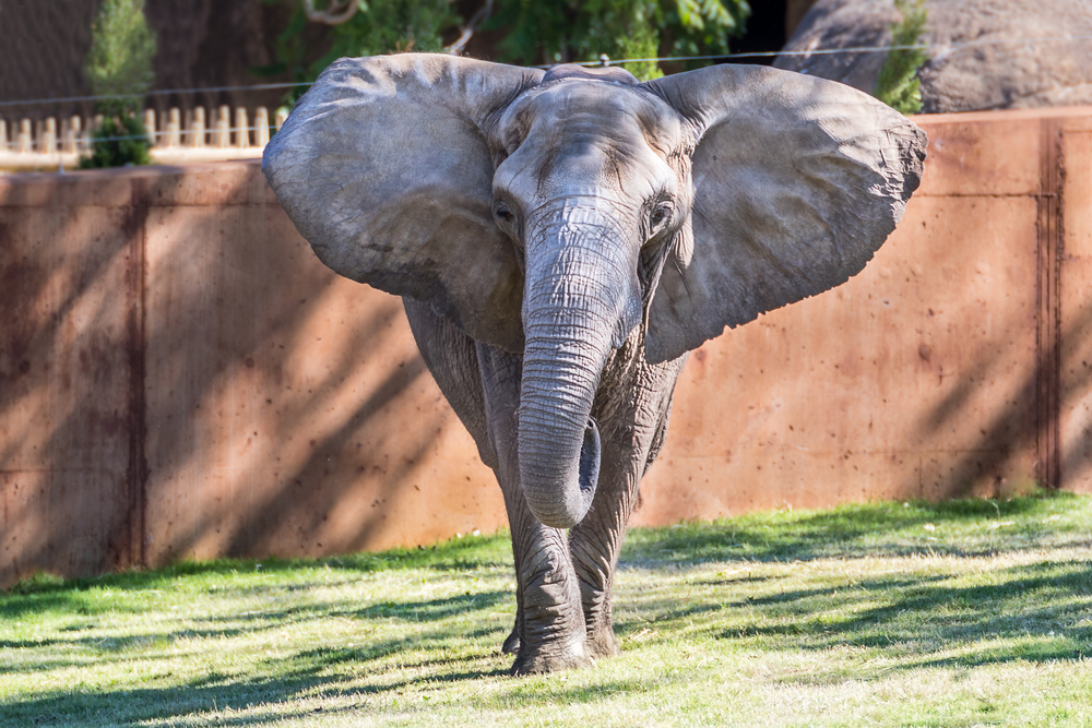 Elephant with ears out at the Sedgwick County Zoo in Wichita, KS