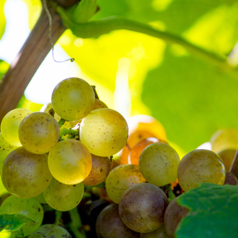 White grapes in a southwest Michigan USA vineyard, grown to make delicious local wine