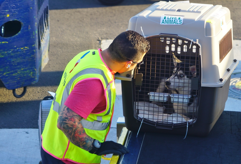 A baggage handler from American Airlines (AA) being nice to a dog in a crate to be loaded into a plane at the Miami International Airport (MIA), a major hub for American.