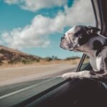 black and white dog traveling with head out of car window