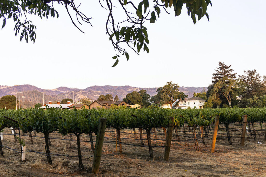 Vineyard in Napa Valley with homes in the background.