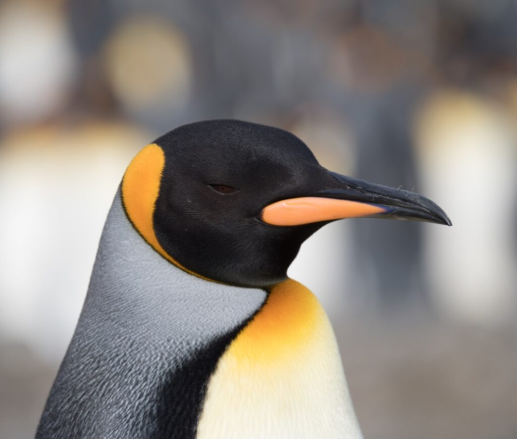 Close up of the head of a king penguin with black, gray, gold and white feathers and a black and orange beak in Antarctica.