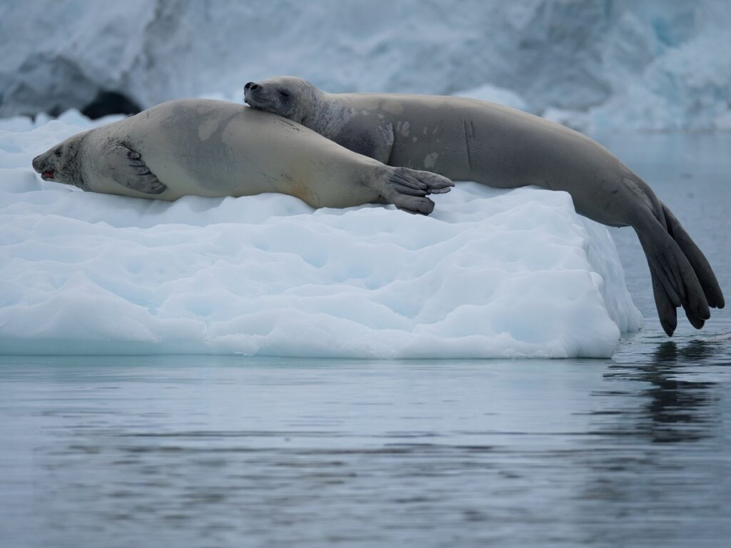 Crabeater seals perched up on some ice in Antarctica.