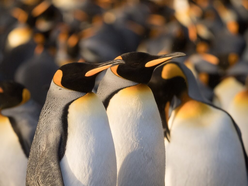 A pair of King penguins in a penguin colony in South Georgia near Antarctica.