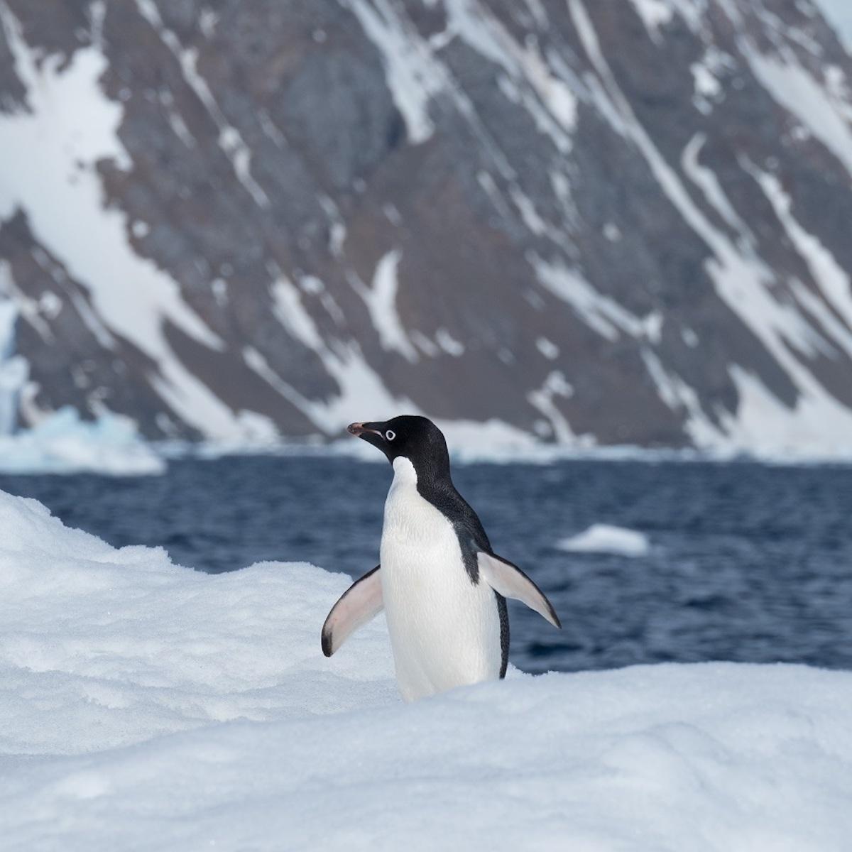 Adelie penguin standing on ice in Antarctica.