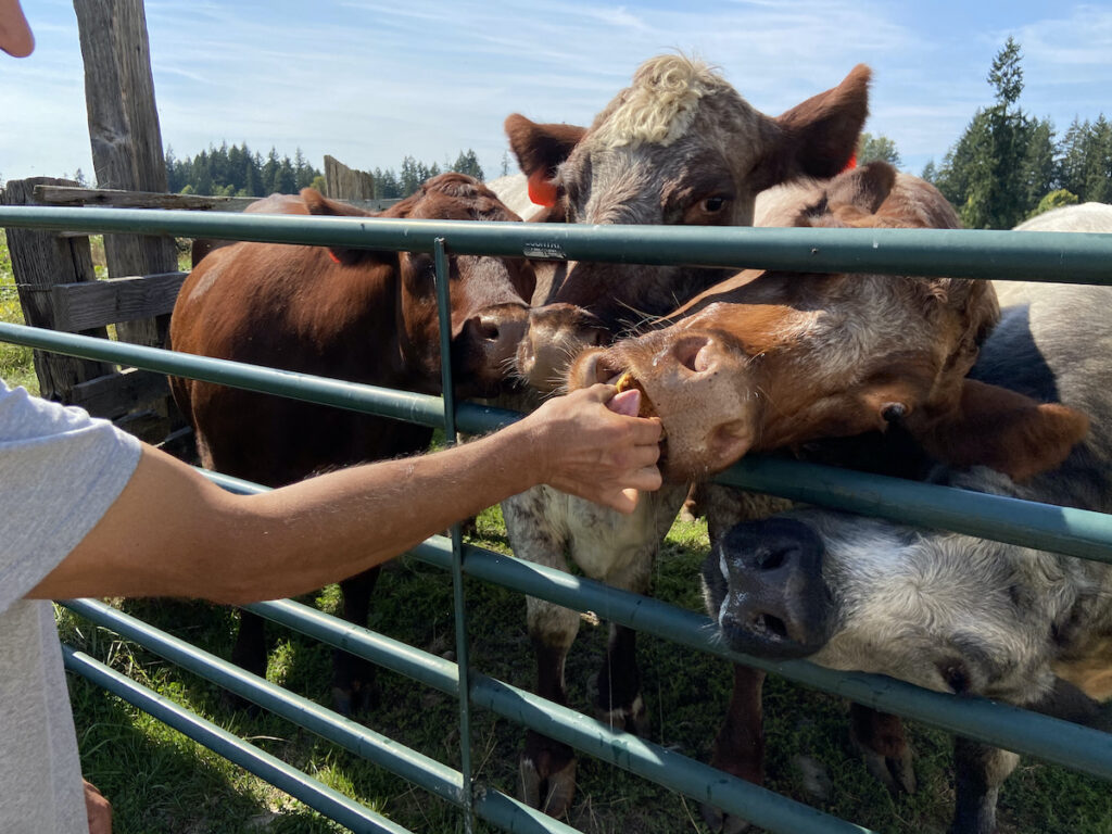Cows at Ashley Creek Farm; Washington
