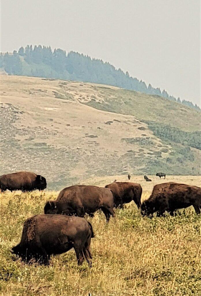 Bison near Browning, Montana
