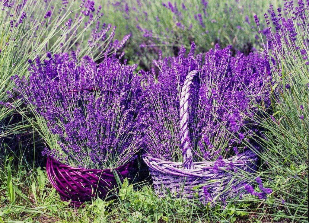 Purple Adobe Lavender Farm; Chama, New Mexico