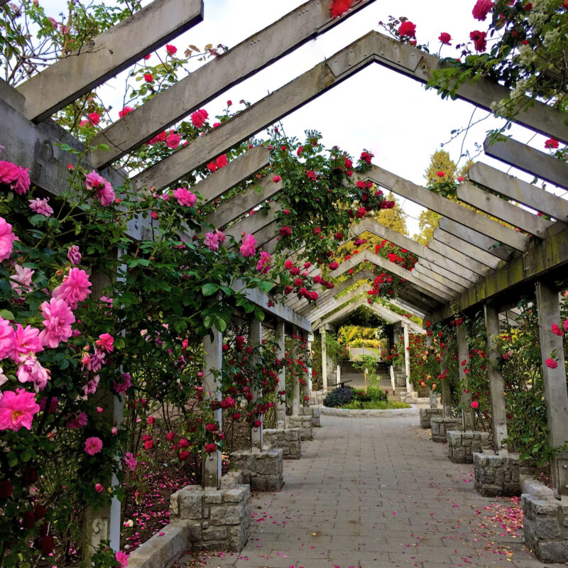 ose Garden in Bloom. Stanley Park, Vancouver, British Columbia, Canada