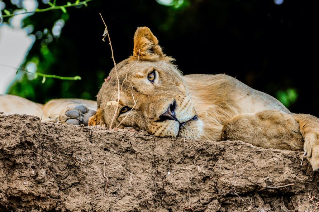 Lion on rocks on the Zambezi River bank, Zambia.