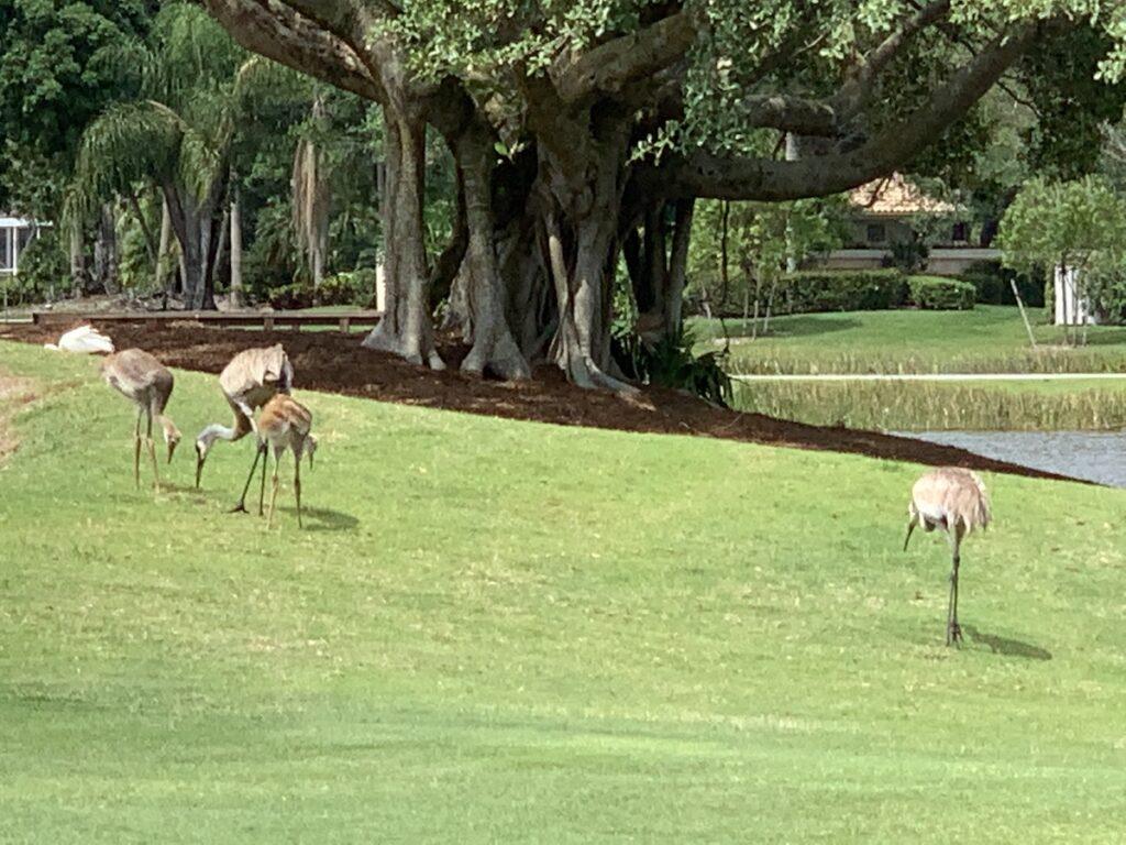 A group of storks at PGA National.