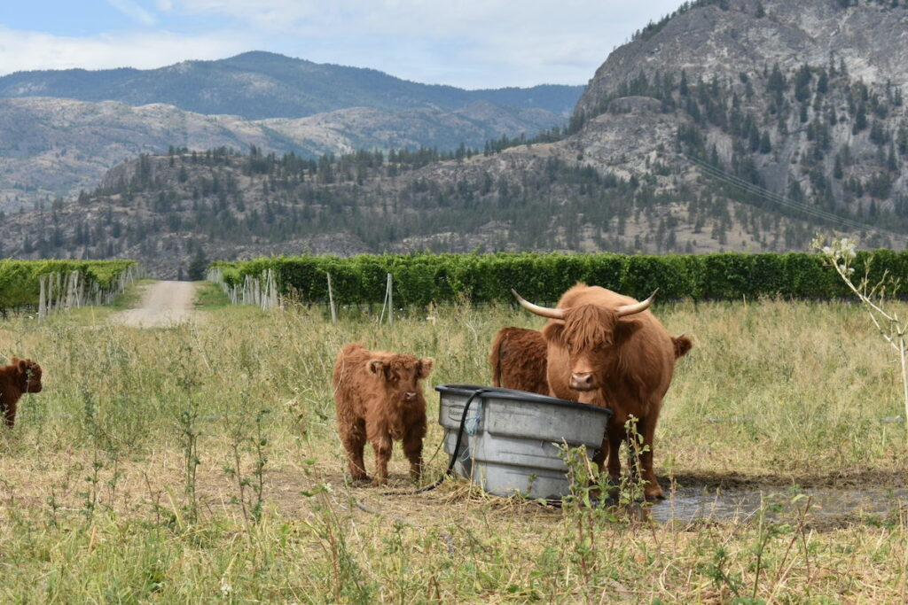 Cattle at Covert Family Farms in Oliver, British Columbia.