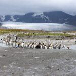 King penguins standing along a river on South Georgia, near Antarctica.