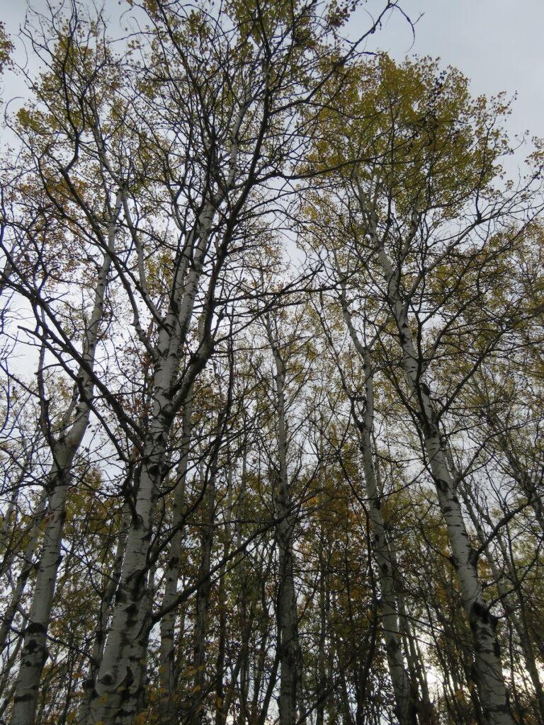 Turtle Mountain Forest in Bottineau, North Dakota, during fall.