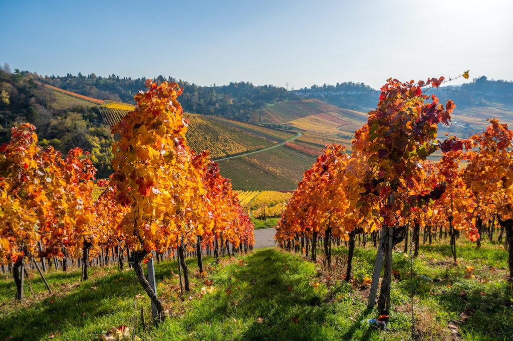 Vineyard in the Neckar Valley of Germany