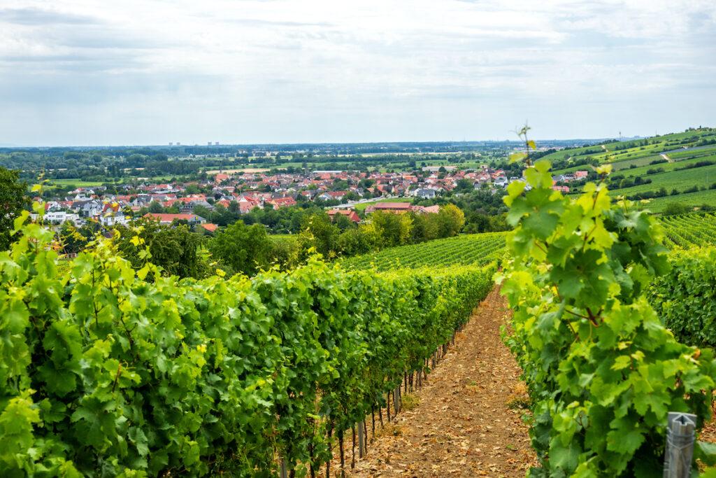 Vineyard near Nierstein, Germany