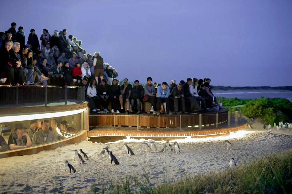 Penguin Parade viewing platform with tourist and penguins.