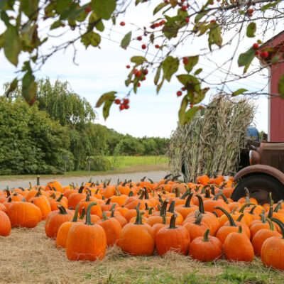Pumpkin patch in New England