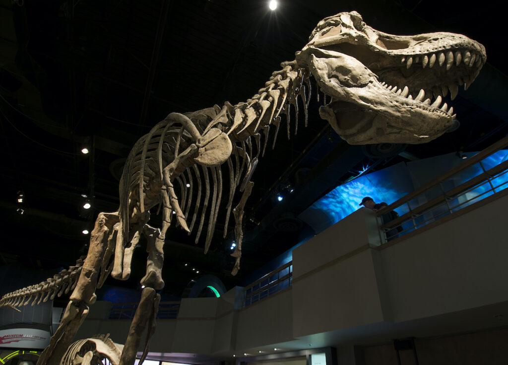 Tyrannosaurus rex at the Royal Tyrell Museum.