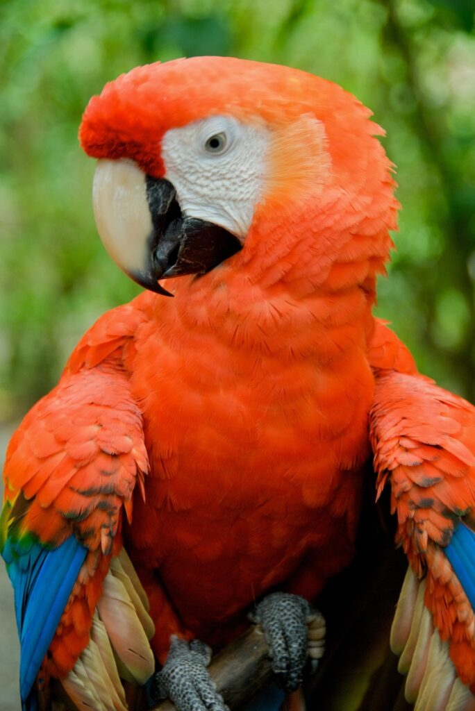 A colorful parrot in Monteverde, Costa Rica