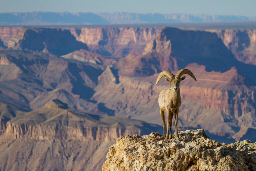 Ram at the Grand Canyon