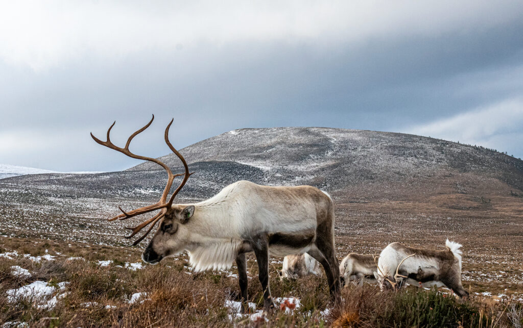 Reindeer in the Cairnborgms Mountains; Scotland