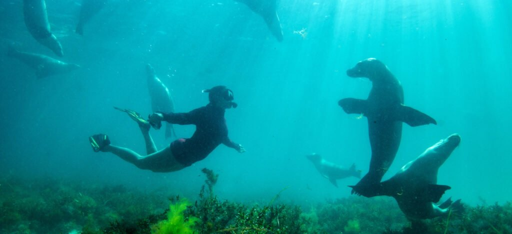 Woman swims with Sealion, Port Lincoln, Eyre Peninsula.