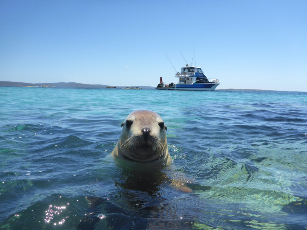 Sea lion with its head above water, Sealions Calypso Star Charters, Eyre Peninsula