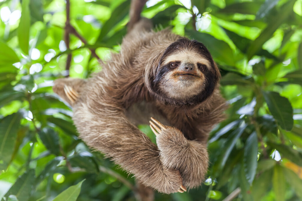 Sloth on a tree in South America