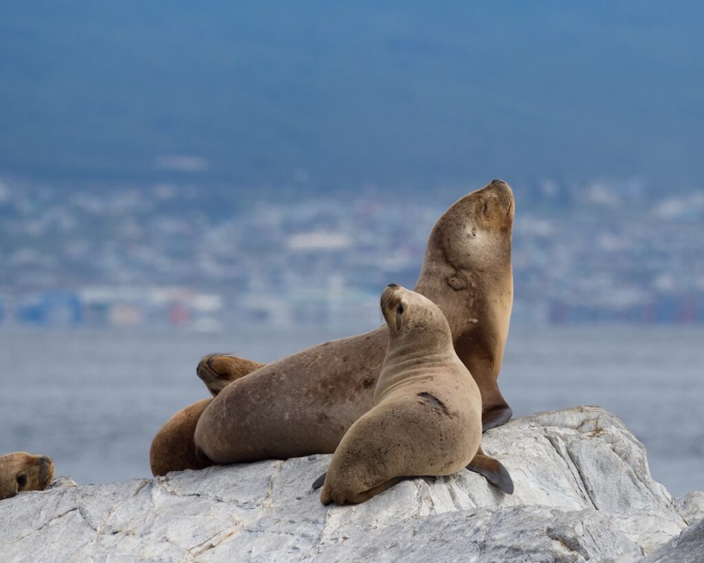 Four South American fur seals on a gray rock. A young seal is in the foreground and Ushuaia Argentina is in the background. Shallow depth of field.