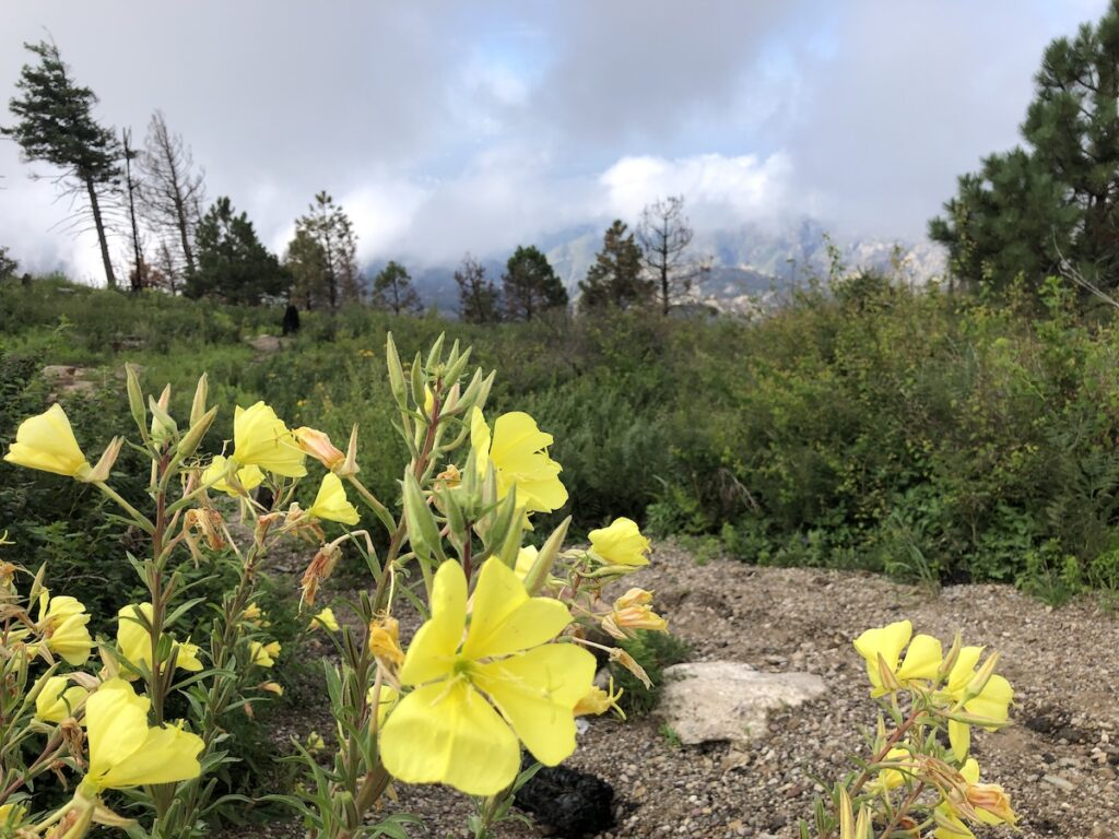 Wildflowers at the summit of Mount Lemmon