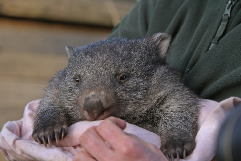 Man holds wombat in arms.