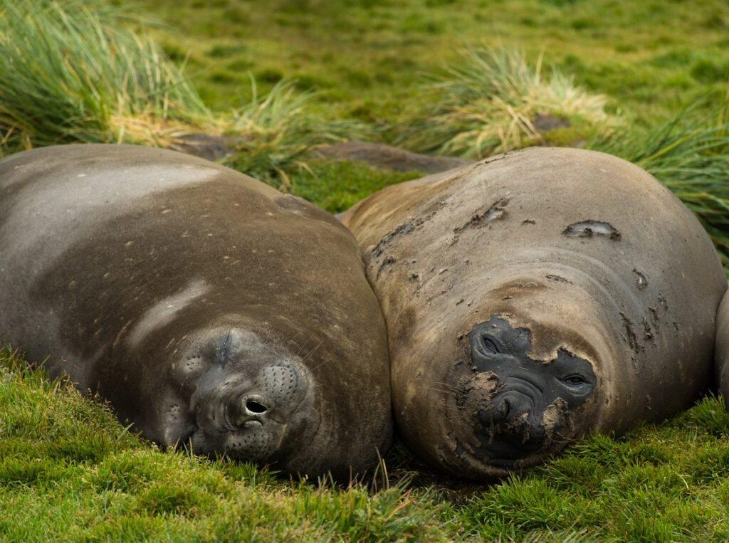 Young elephant seals at Gold Harbour, South Georgia Island, near Antarctica.